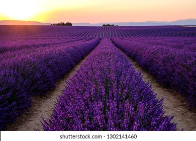 Lavender field in Provence. Plateau of Valensole. Sunset.