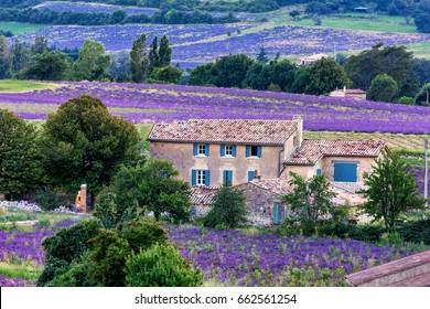 lavender field provence Sault
