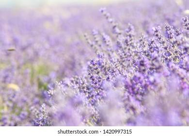 Lavender field in Provence. Sprigs of lavender bloom beautifully in the sun