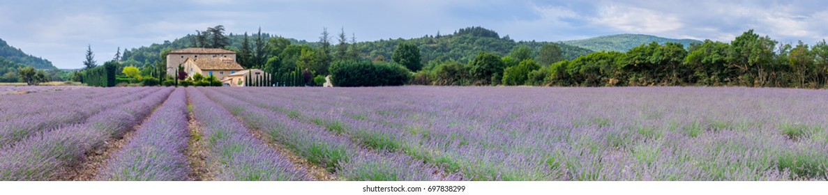 Lavender field in Provence-Alpes-Cote d'Azur and french rural landscape with an old farmhouse at horizon. Violet rows of lavandula hills, picturesque farmland of Provence in Sault.