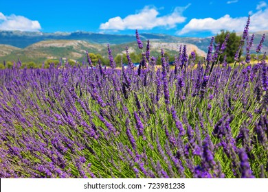 Lavender field. Purple flowers. French Alps, Provence. Summer landscape.