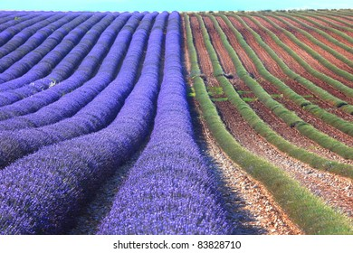 lavender field with purple and green rows