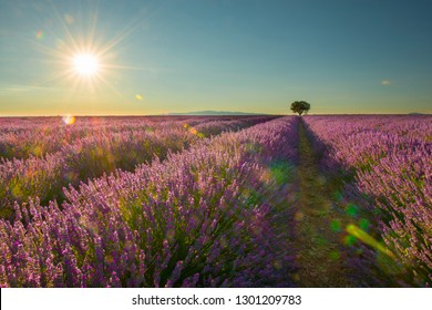 Lavender field with a single tree with sunshine and sun flare