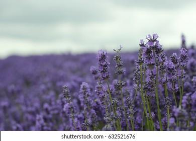 Lavender field, Snowshill, England