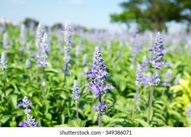 lavender field with soft focus and blurred background.  Selective focus.