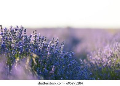 Lavender field in soft light