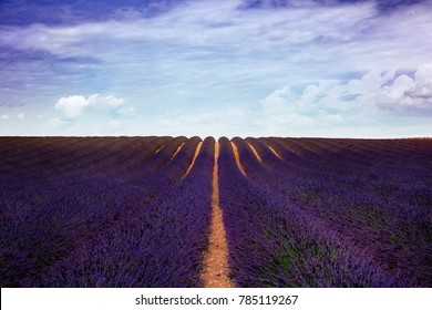lavender field in south of the France, with a purple sky