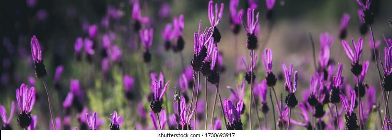 Lavender field in spring. Violet