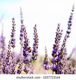 Lavender Field in the summer