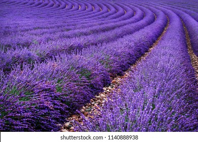 Lavender field in the summer. Flowers in the lavender fields in the Provence mountains.