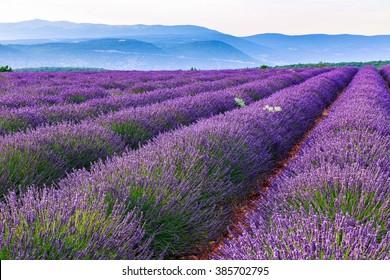 Lavender field summer landscape near Sault.Provence.France