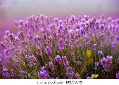 Lavender Field in the summer on sunset