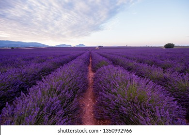 lavender field in summer purple aromatic flowers near valensole in provence france