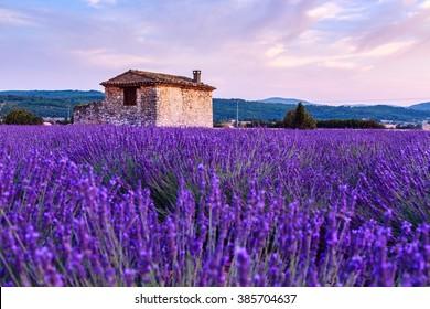 Lavender field summer sunset landscape near Sault, Provence - France