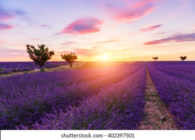 Lavender field summer sunset landscape with two tree near Valensole.Provence,France