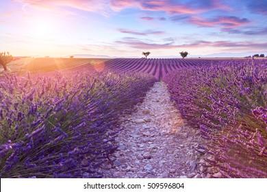 Lavender field summer sunset landscape near Valensole.Provence,France