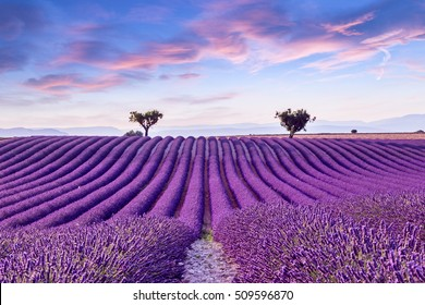 Lavender field summer sunset landscape near Valensole.Provence,France