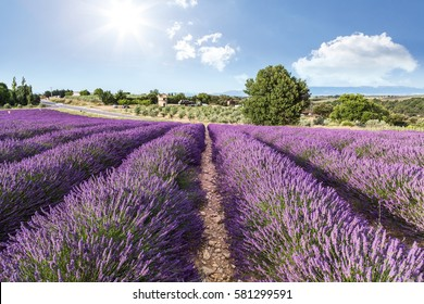 Lavender field summer sunset landscape near Valensole, Provence, France