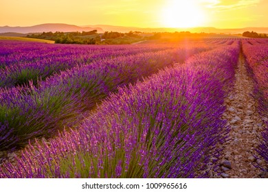 Lavender field in the summer, sunset. Provence, Valensole, France.