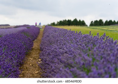 Lavender field in the summertime