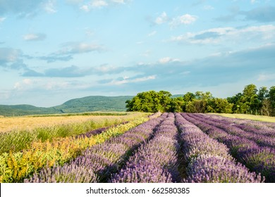 Lavender field in sunlight. Beautiful image of lavender field. Lavender flower field, image for natural background.Very nice view of the lavender fields.