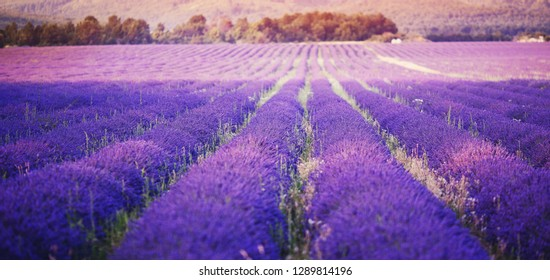 Lavender field in sunlight, Provence, France. Rows extending into distance. Violet tone.