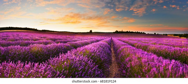 Lavender field at sunrise, Provence, France