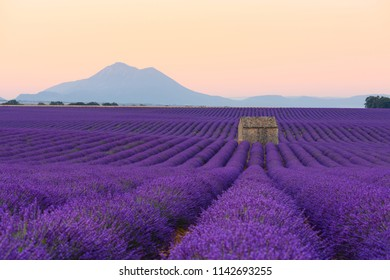 Lavender field at sunrise Valensole Plateau Provence iconic french landscape fields with rows of blossoming lavender bushes and lonely house