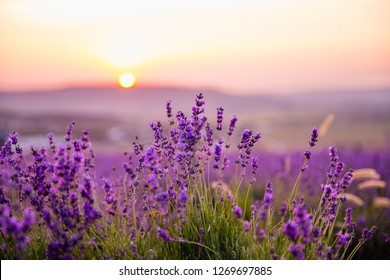 Lavender field at sunset. Beutiful blossoming lavender bushes rows