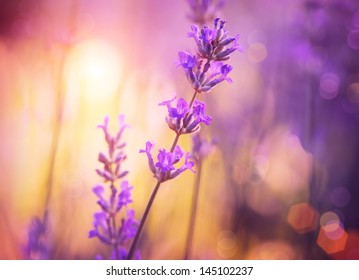 Lavender. Lavender field at Sunset. Close up image. Soft Focus