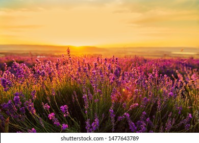 Lavender field at sunset. Great summer landscape. Natural cosmetics, aromatherapy, medicine.