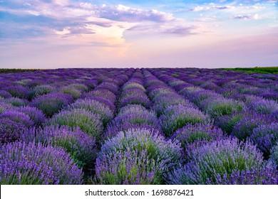 lavender field in sunset light