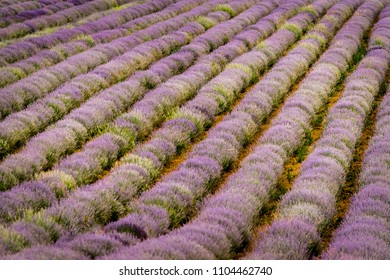 Lavender field in the sunset lights