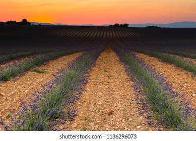 Lavender field at sunset, Valensole Plateau, Provence, France