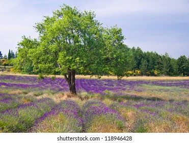 Lavender field with a tree