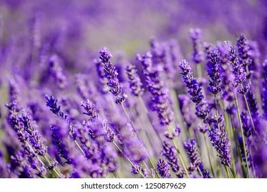 Lavender field - Valensole, France - So violet!