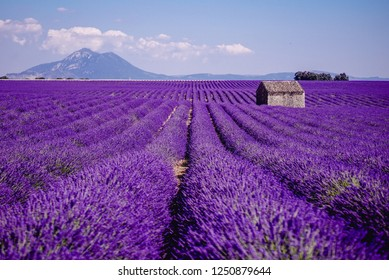 Lavender field - Valensole, France - So violet!