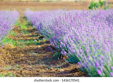 Lavender field in the village. Lavender flowers on the farm. Selective focus image. Pastoral landscape. Lavender fields in suburb of Istanbul.