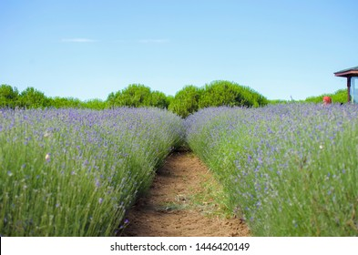 Lavender field in the village. Lavender flowers on the farm. Selective focus image. Pastoral landscape. Lavender fields in suburb of Istanbul. selective focus image.