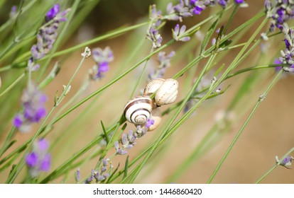 Lavender field in village. Lavender flowers on farm. Little cute snail on flower. Pastoral landscape. Lavender fields in suburb of Istanbul. selective focus image.