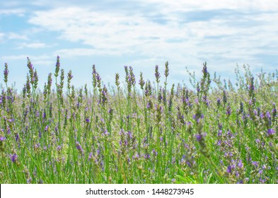 Lavender field in the village. Lavender flowers on the farm. Pastoral landscape. Lavender fields in suburb of Istanbul. selective focus image.