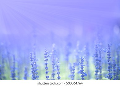 Lavender field with the violet bushes