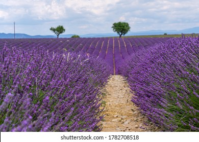 Lavender field with wheat field in backgroundin summer sunny day in Provence, France