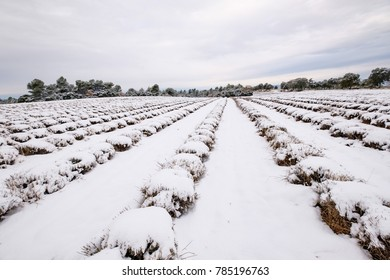 Lavender field in winter covered by snow. Provence, France.