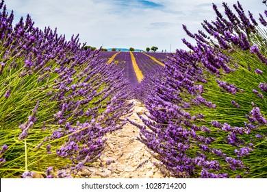 Lavender Fields, Aix En Provence
