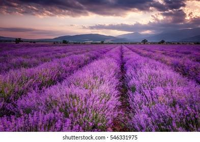 Lavendelfelder. Schönes Bild des Lavendelfeldes. Sommersonnenuntergang Landschaft, Kontrastfarben. Dunkle Wolken, dramatischer Sonnenuntergang