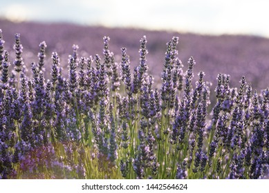 Lavender fields in Brihuega Spain
