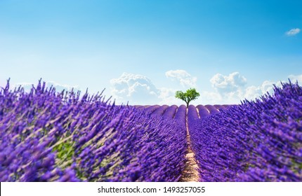 Lavender fields with heart-shape tree near Valensole, Provence, France. Beautiful summer landscape. Selective focus. Blooming lavender flowers