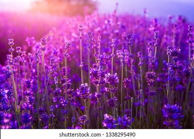 lavender fields in Italy
