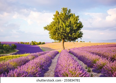 Lavender fields near Valensole in Provence, France on sunset. Beautiful view on rows and provencal houses. Popular place for traveling and tourists in summer.